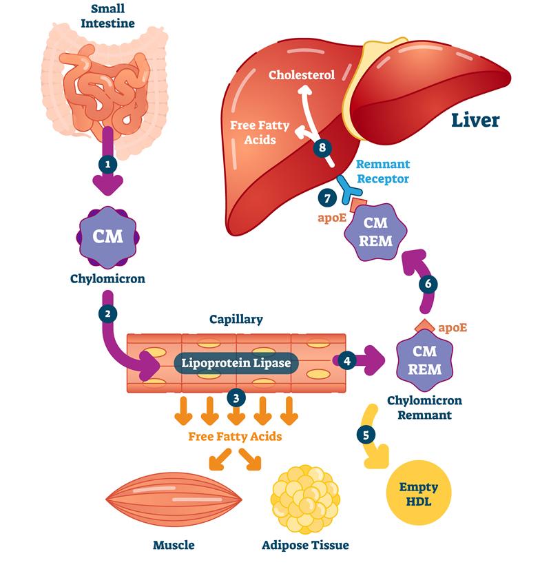 脂質吸収代謝