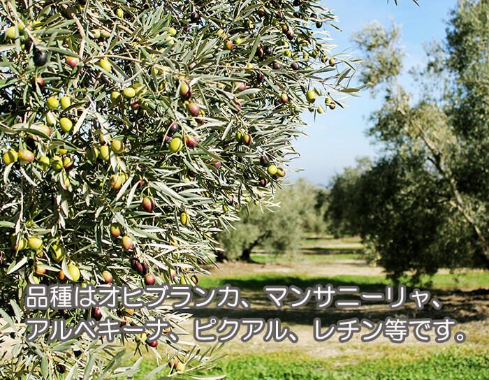品種はオヒブランカ、マンサニーリャ、アルベキーナ、ピクアル、レチン等です。