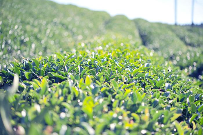 自然農の大和茶