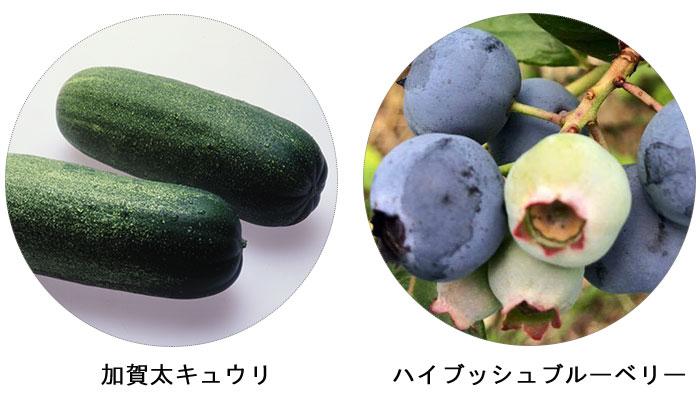 ハイブッシュブルーベリー/加賀太きゅうり